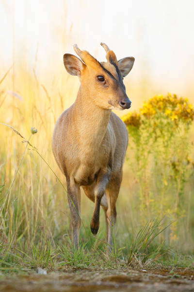 Photograph - Muntjac Deer by Simon Litten