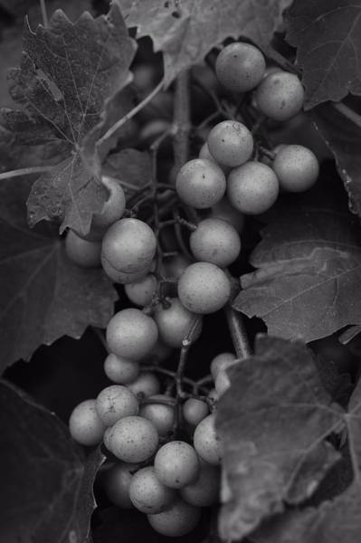 Wall Art - Photograph - Muscadine Grapes In Black And White by Matt Plyler