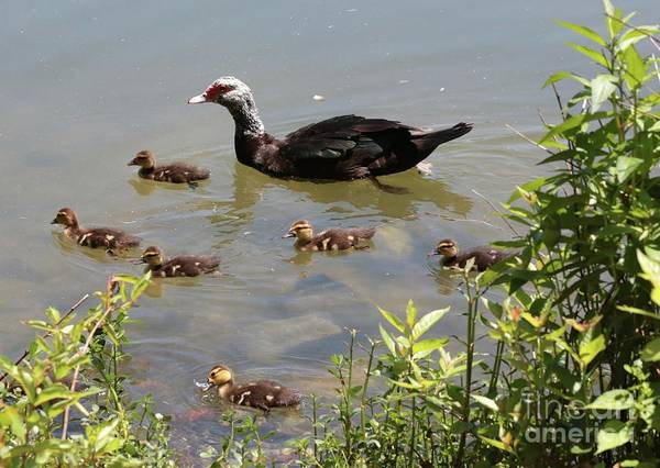 Muscovy Photograph - Muscovy Duck Family by Carol Groenen