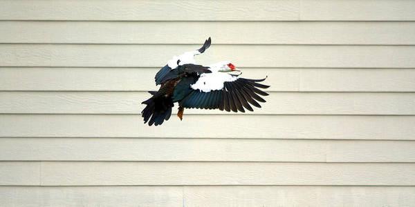 Muscovy Duck Art (Page #3 of 13)   Fine Art America