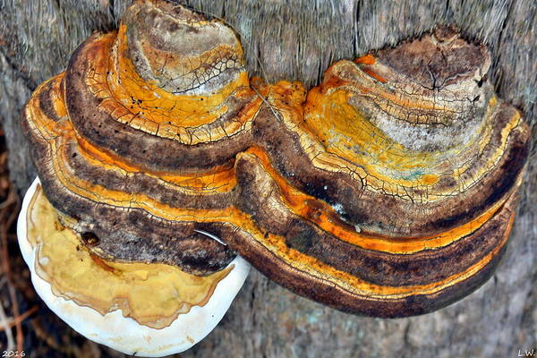 Photograph - Mushroom Layers by Lisa Wooten