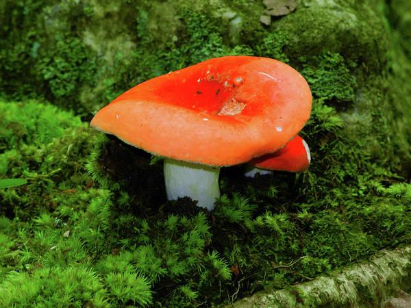 Photograph - Mushroom On The Appalachian Trail by Raymond Salani III