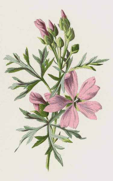 Perennial Painting - Musk Mallow by Frederick Edward Hulme