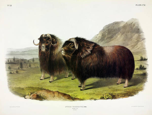 Wall Art - Painting - Musk Ox by John James Audubon