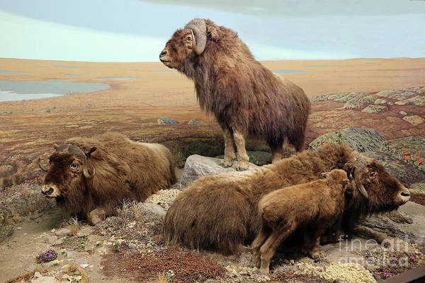 Photograph - Musk Oxen Diorama by Kevin McCarthy