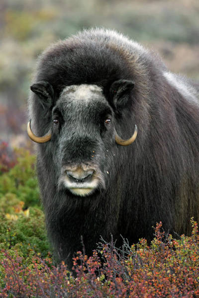 Photograph - Muskox In The Fall by Arterra Picture Library