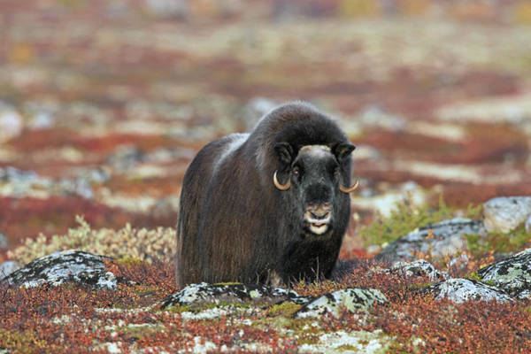 Photograph - Muskox On The Tundra by Arterra Picture Library