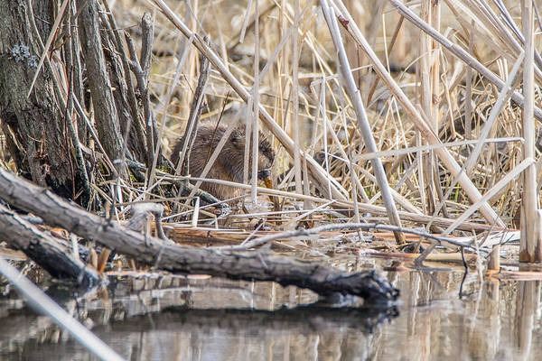 Photograph - Muskrat Eating A Fish by Steven Santamour