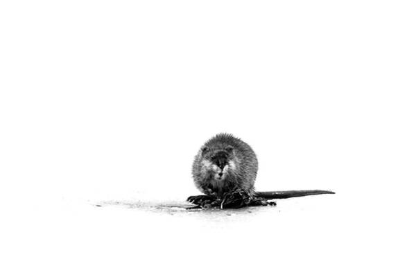 Photograph - Muskrat On Ice by Jeff Phillippi