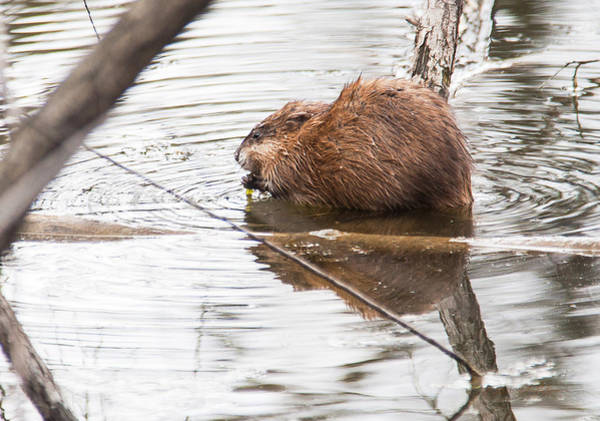 Photograph - Muskrat Spring Meal by Edward Peterson