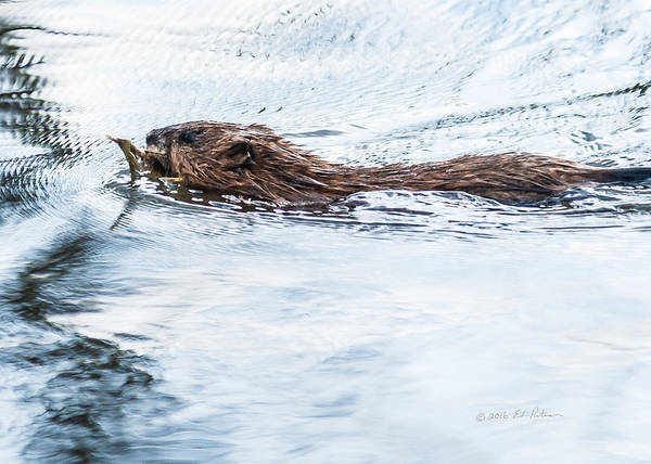 Photograph - Muskrat Spring Swim by Edward Peterson