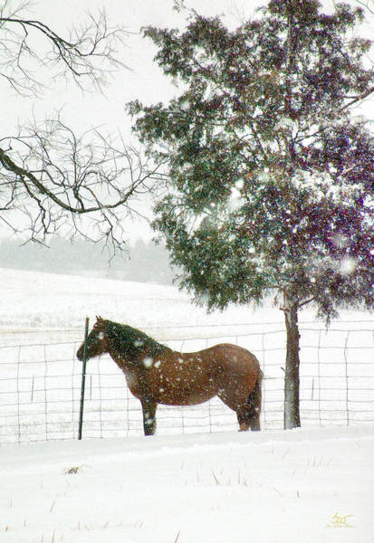 Photograph - Mustang In Winter by Sam Davis Johnson