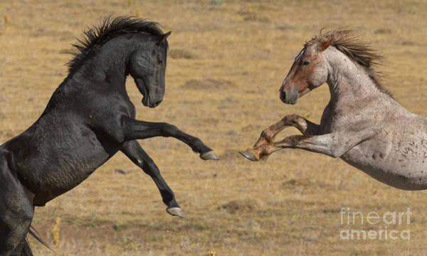 Wall Art - Photograph - Mustang Stallions Playing by Yva Momatiuk John Eastcott