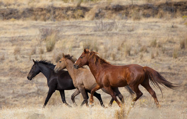 Sagebrush Photograph - Mustang Trio by Mike  Dawson