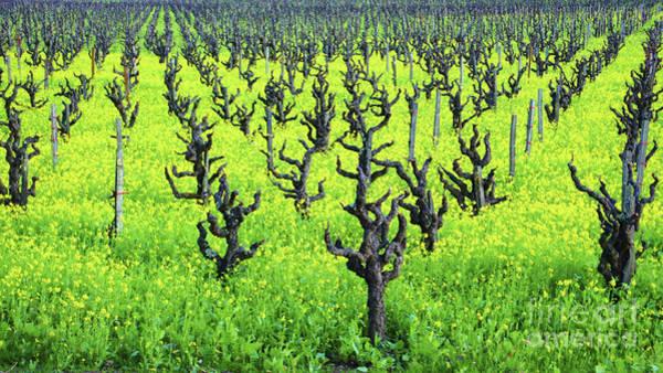 Mustard Flowers In The Vineyards Art Print
