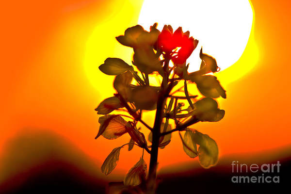 Photograph - Mustard Sunset by Roger Monahan