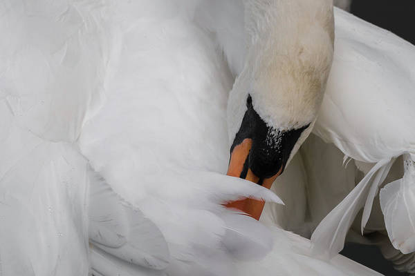 Photograph - Mute Swan Attention To Detail by Wendy Cooper