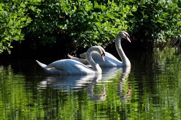 Wall Art - Photograph - Mute Swan Couple 2 by Mary Ann Artz