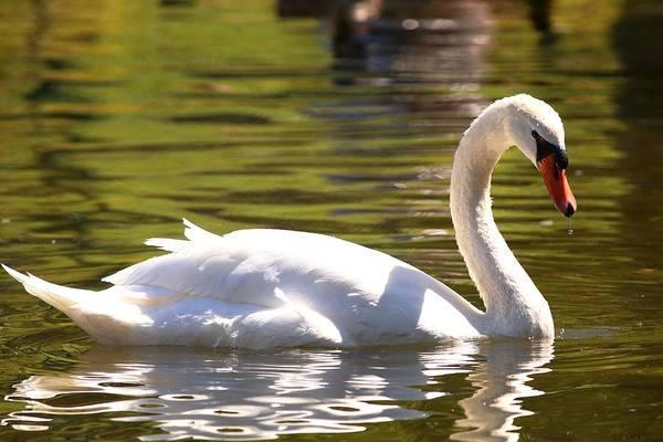 Photograph - Mute Swan In Golden Waters by Carol Montoya