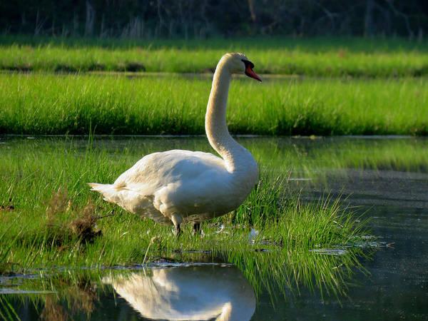 Wall Art - Photograph - Mute Swan In Spring by Dianne Cowen