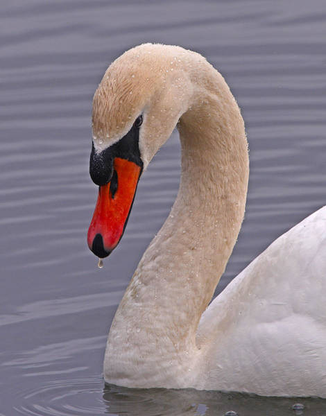 Photograph - Mute Swan by Ken Stampfer