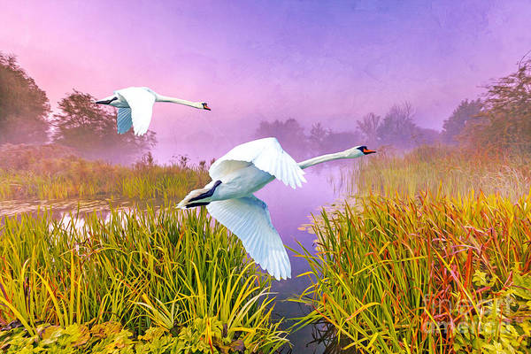 Marshland Photograph - Mute Swans Over Marshes by Laura D Young