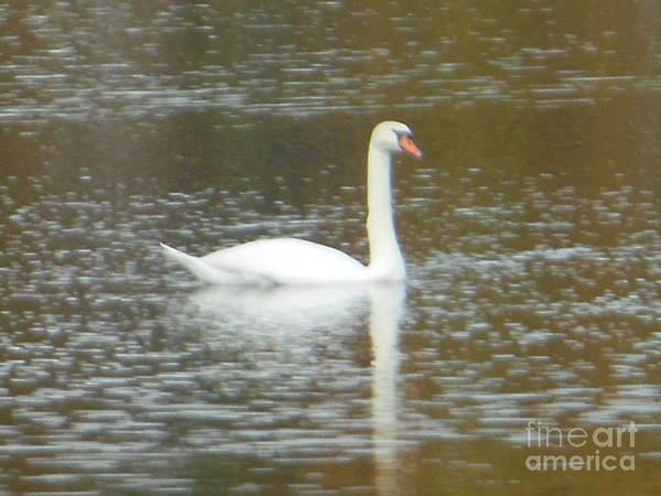 Photograph - Mute White Swan Beauty by Rockin Docks