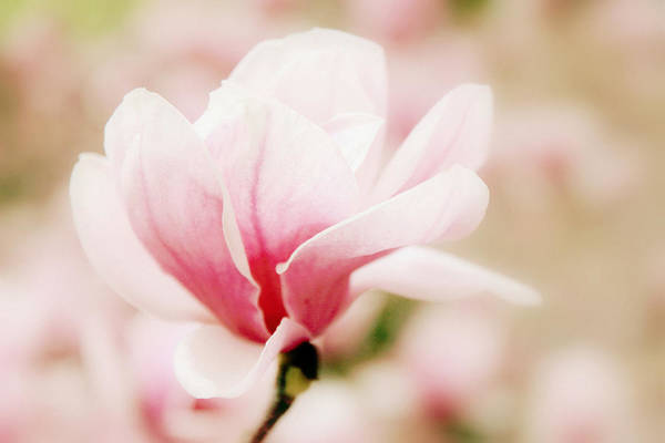 Photograph - Muted Magnolia  by Jessica Jenney