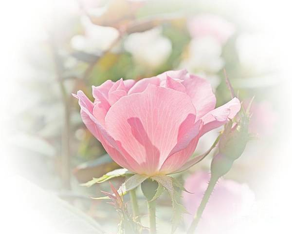Print On Demand Digital Art - Muted Rose  by Luther Fine Art