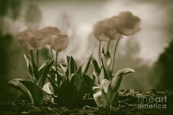 Photograph - Muted Tulips by Patrick M Lynch