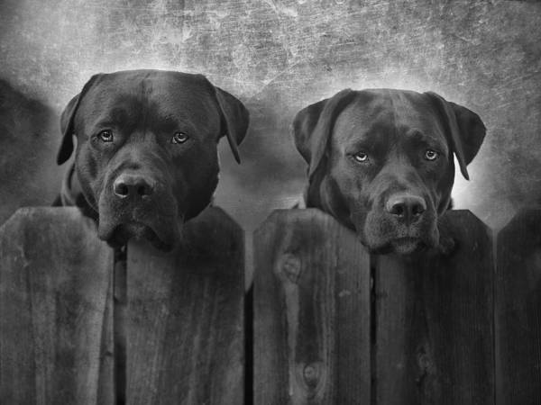 Black Lab Photograph - Mutt And Jeff by Larry Marshall