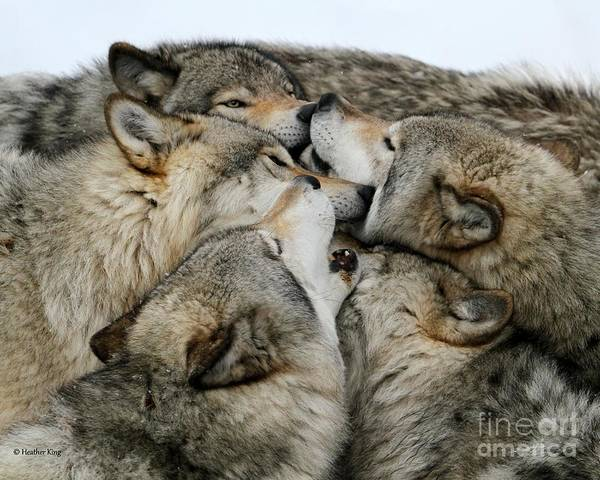 Arctic Wolves Photograph - Muzzle Nuzzle by Heather King