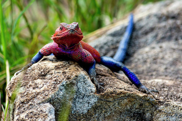 Photograph - Mwanza Flat-headed Rock Agama by David Morefield