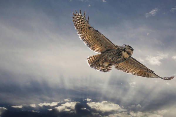 Owl In Flight Photograph - My Blue Heaven by Donna Kennedy