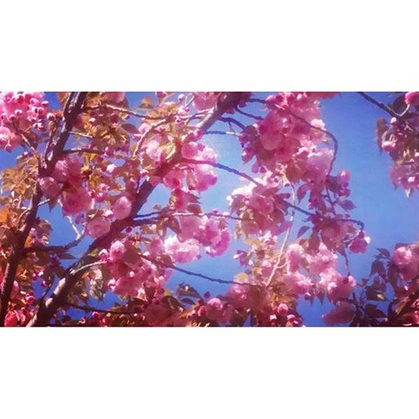 Blossom Photograph - My Cherry Blossom Trees Are Just by Genevieve Esson
