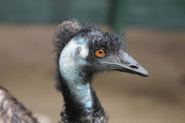 Wall Art - Photograph - My Hair Is Just Fine Thanks - Smiling Emu by Carolyn Parker