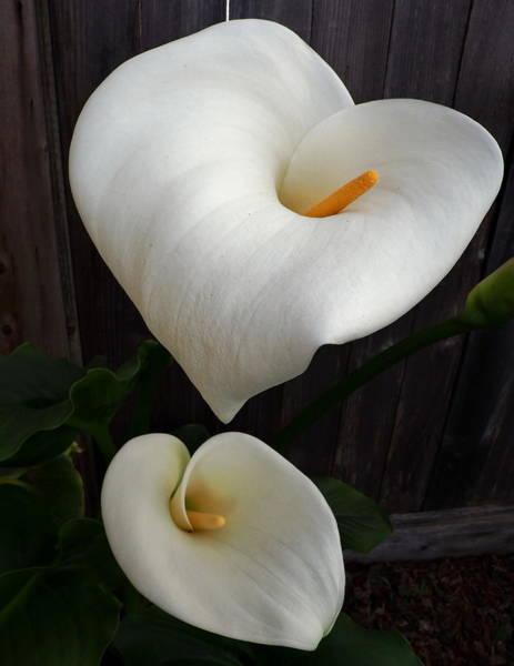 My Heart Calla Lilies Art Print