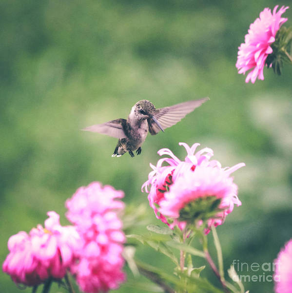Photograph - My Hummingbird by Viviana Nadowski