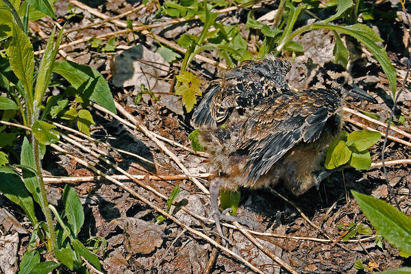 Woodcock Photograph - My Instinct Told Me To Go And Hide by Asbed Iskedjian
