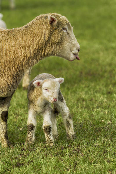 Photograph - My Lamb's Better Than Yours by Belinda Greb