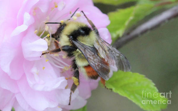 Photograph - My Little Bee In The Plum by Donna L Munro