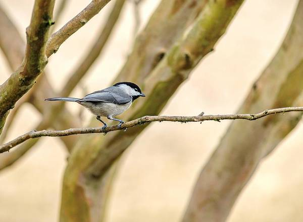 Photograph - My Little Chickadee by Keith Smith