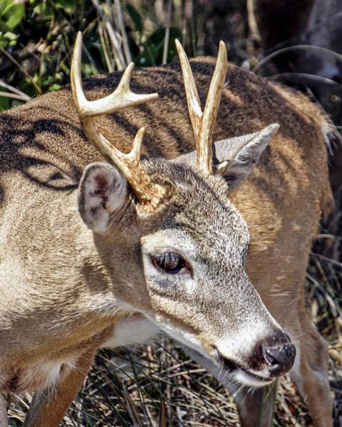 Photograph - My Little Keys Deer by Bob Slitzan