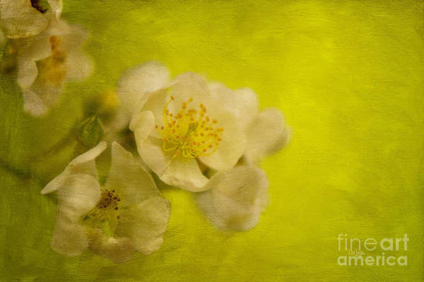Photograph - My Sweet Wild Rose by Lois Bryan