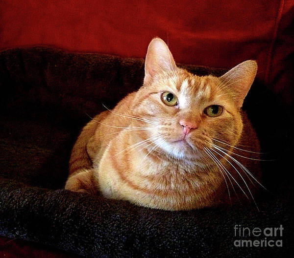 Orange Tabby Photograph - My True Love by Luther Fine Art
