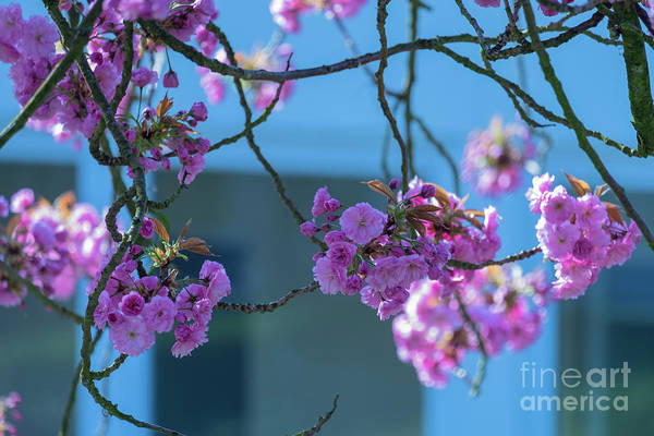 Photograph - My Window With A Blooming Sakura by Marina Usmanskaya