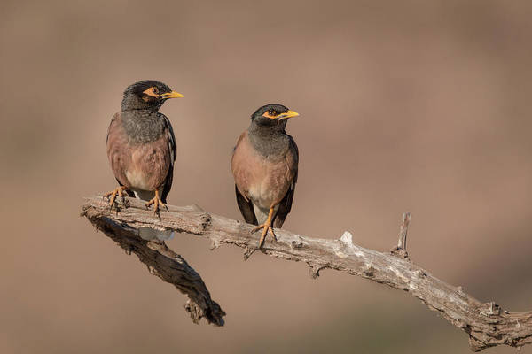 Photograph - Myna Pair by James Capo