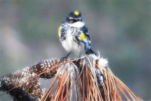 Yellow-rumped Warbler Photograph - Myrtle Warbler by Donna Kennedy
