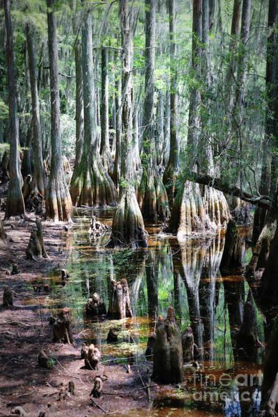 Cypress Knees Photograph - Mysterious Cypress Swamp by Carol Groenen