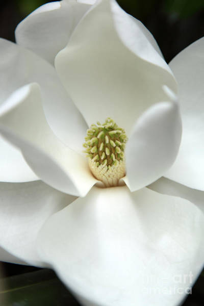 Magnolia Wall Art - Photograph - Mysteriously by Amanda Barcon